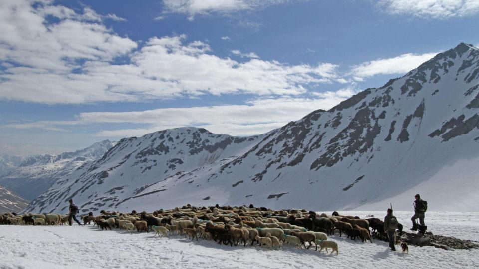 Tirol Herde am Gletscher